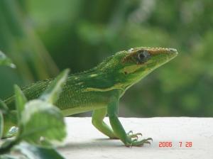 lizard_balcony 002